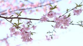 Λουλούδι κερασιών στο πάρκο στο Τόκιο απόθεμα βίντεο