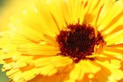 λουλούδι κινηματογραφήσεων σε πρώτο πλάνο κίτρινο Στοκ Εικόνα
