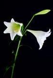 λουλούδι κινηματογραφήσεων σε πρώτο πλάνο lilly Στοκ φωτογραφίες με δικαίωμα ελεύθερης χρήσης