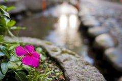 λουλούδι κολπίσκου πέρα από το ρόδινο πορφυρό vinca Στοκ Εικόνα