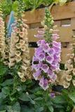 Λουλούδι κουδουνιών Campanula Στοκ φωτογραφίες με δικαίωμα ελεύθερης χρήσης