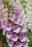 Λουλούδι κουδουνιών Campanula Στοκ Εικόνα