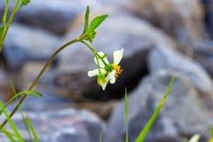 Λουλούδι κουμπιών παλτών Λουλούδια Tridax procumbens Λ μαργαριτών Maxican Στοκ εικόνα με δικαίωμα ελεύθερης χρήσης