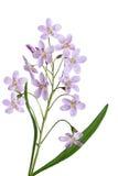 λουλούδι κούκων στοκ εικόνες με δικαίωμα ελεύθερης χρήσης