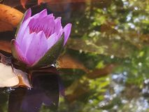 Λουλούδι κρίνων νερού Blu το εθνικό λουλούδι Sri Lanaka στοκ εικόνα