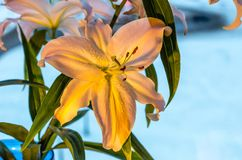 Λουλούδι κρίνων στο μπλε υπόβαθρο στοκ εικόνες με δικαίωμα ελεύθερης χρήσης