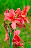 Λουλούδι κρίνων Canna, εγκαταστάσεις λουλουδιών της Νίκαιας Στοκ φωτογραφία με δικαίωμα ελεύθερης χρήσης