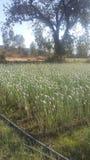 Λουλούδι κρεμμυδιών στοκ εικόνες με δικαίωμα ελεύθερης χρήσης