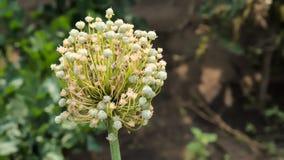 Λουλούδι κρεμμυδιών Στοκ εικόνα με δικαίωμα ελεύθερης χρήσης