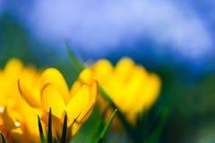 Λουλούδι κρόκων Στοκ Εικόνες
