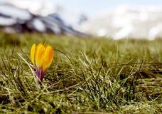 λουλούδι κρόκων Στοκ εικόνες με δικαίωμα ελεύθερης χρήσης