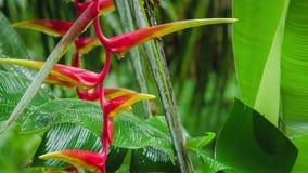 Λουλούδι κόκκινου Heliconia στις βροχερές πτώσεις Έναρξη της υγρής εποχής Πολύβλαστο φύλλωμα πράσινων εγκαταστάσεων στο υπόβαθρο απόθεμα βίντεο
