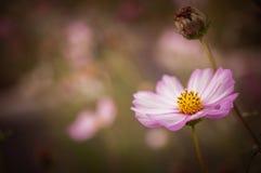 Λουλούδι κόσμου θείου σε έναν κήπο στο cinematic τόνο με τα σύντομα χρονογραφήματα στοκ εικόνες