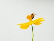 λουλούδι κόσμου μελισ Στοκ Εικόνες