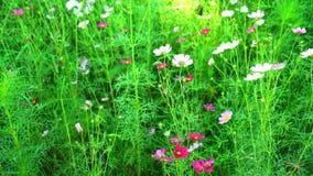 Λουλούδι κόσμου με το χτύπημα αέρα στον τομέα φιλμ μικρού μήκους