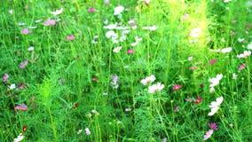 Λουλούδι κόσμου με το χτύπημα αέρα στον τομέα απόθεμα βίντεο
