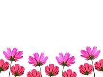 Λουλούδι κόσμου που απομονώνεται στο άσπρο διάστημα υποβάθρου για το κείμενο Στοκ Φωτογραφίες