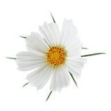 Λουλούδι κόσμου Sonata Στοκ εικόνες με δικαίωμα ελεύθερης χρήσης
