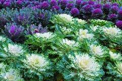 λουλούδι λάχανων Στοκ Φωτογραφίες