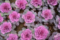 Λουλούδι λάχανων Στοκ Εικόνες