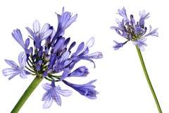 λουλούδι λεπτομέρειας που απομονώνεται Στοκ Φωτογραφίες