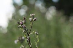 Λουλούδι λιβαδιών της Νίκαιας Στοκ Εικόνες