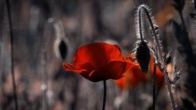 Λουλούδι μαγικό Οφθαλμοί παπαρουνών σε όλη τη δόξα του Παπαρούνα, ένας άλλος οφθαλμός στον τρόπο απόθεμα βίντεο