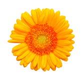 λουλούδι μαργαριτών κίτρ&i Στοκ φωτογραφίες με δικαίωμα ελεύθερης χρήσης