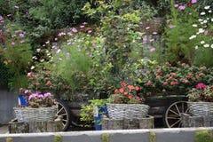 Λουλούδι μαργαριτών ομορφιάς στο δοχείο Στοκ Φωτογραφία