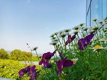 Λουλούδι μαργαριτών της Marguerite στο Hill Kochia στο πάρκο παραλιών Hitachi, Ιαπωνία στοκ φωτογραφία
