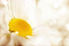 λουλούδι μαργαριτών Στοκ φωτογραφίες με δικαίωμα ελεύθερης χρήσης