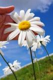 λουλούδι μαργαριτών Στοκ εικόνες με δικαίωμα ελεύθερης χρήσης