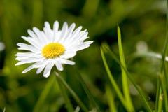 λουλούδι μαργαριτών Στοκ Φωτογραφία