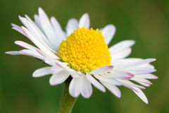 λουλούδι μαργαριτών Στοκ Εικόνες