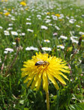 λουλούδι μελισσών κίτρι& στοκ φωτογραφίες