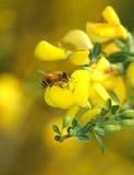 λουλούδι μελισσών κίτρι& στοκ φωτογραφίες με δικαίωμα ελεύθερης χρήσης