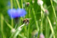 Λουλούδι μελισσών και τομέων Φύση της Ουκρανίας Στοκ Εικόνες