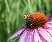 λουλούδι μελισσών Στοκ φωτογραφίες με δικαίωμα ελεύθερης χρήσης