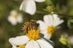 λουλούδι μελισσών Στοκ φωτογραφία με δικαίωμα ελεύθερης χρήσης