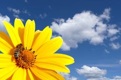 λουλούδι μελισσών Στοκ Φωτογραφίες
