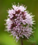 Λουλούδι μεντών στοκ εικόνες