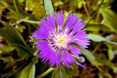 Λουλούδι με τα πορφυρά πέταλα Στοκ Εικόνες