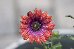 Λουλούδι με τις πτώσεις βροχής Στοκ Φωτογραφίες