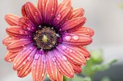 Λουλούδι με τις πτώσεις βροχής Στοκ φωτογραφία με δικαίωμα ελεύθερης χρήσης