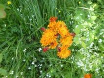 Λουλούδι με το πορτοκαλί άνθος στο δάσος Στοκ φωτογραφία με δικαίωμα ελεύθερης χρήσης