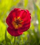 Λουλούδι μιας τουλίπας Στοκ φωτογραφία με δικαίωμα ελεύθερης χρήσης
