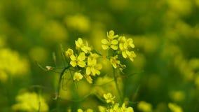 Λουλούδι μουστάρδας στην καλλιέργεια μουστάρδας Στοκ φωτογραφίες με δικαίωμα ελεύθερης χρήσης