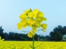 Λουλούδι μουστάρδας στοκ εικόνες