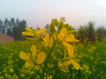 Λουλούδι μουστάρδας στοκ εικόνες με δικαίωμα ελεύθερης χρήσης