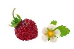 λουλούδι μούρων Στοκ Εικόνες